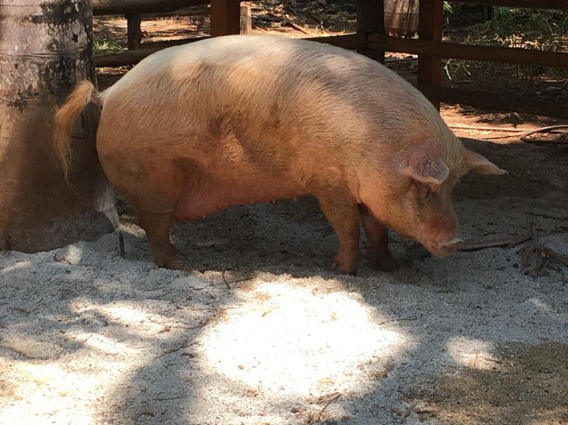 lolita pig